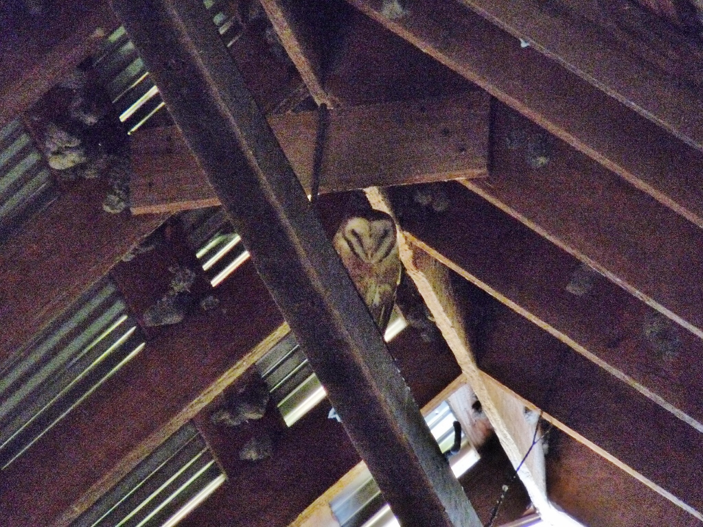 Barn owl in Burwash barn
