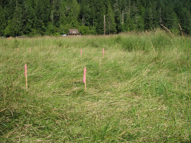 The posts marked with pink flagging outline the soon-to-be new course of Ohop Creek. By re-meandering the Ohop, the creek will provide much better salmon habitat. The restored stream will feature a variety of in-stream habitats, including pools and eddies which will provide rest stops for migrating and rearing fish.