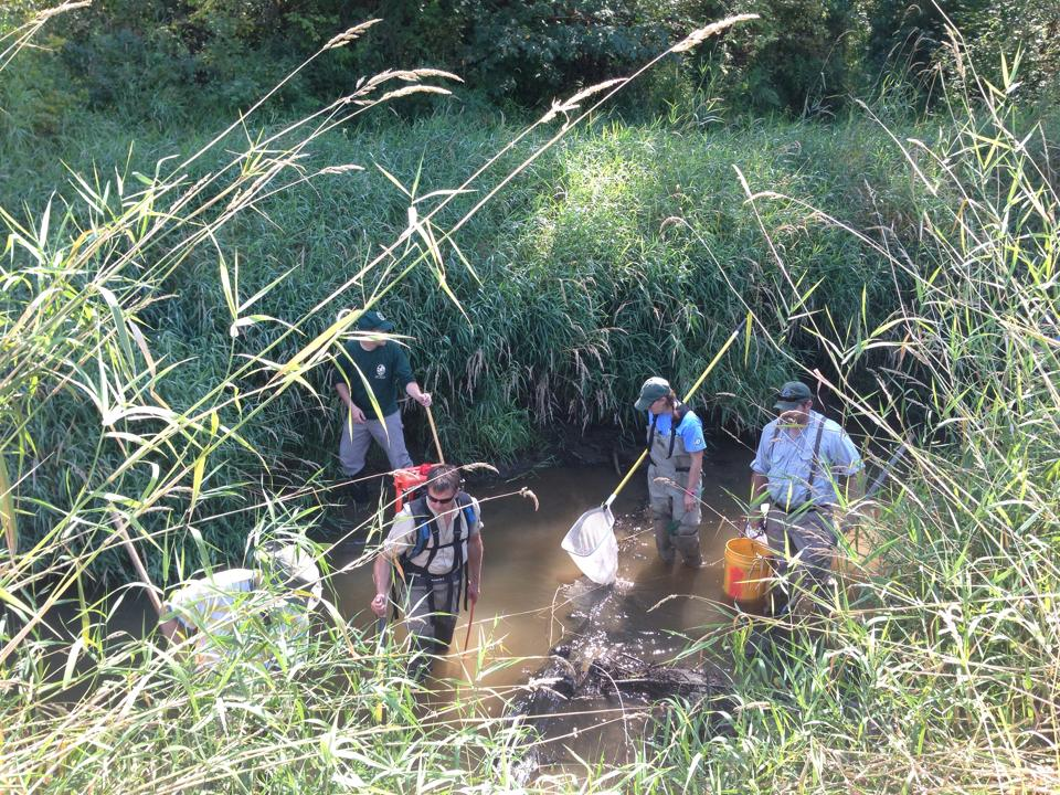 Volunteers walked the length of the old Ohop creek as it drained capturing aquatic wildlife.